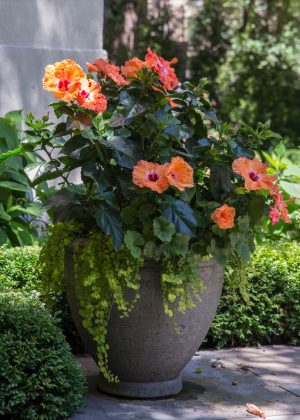 Single stone urn with a orange hibiscus and annuals at a home's front entrance.