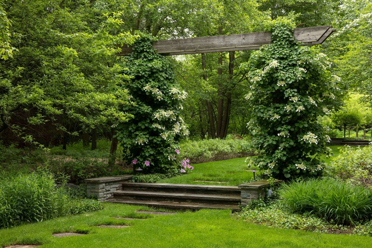 Climbing hydrangeas over arch connecting open spaces