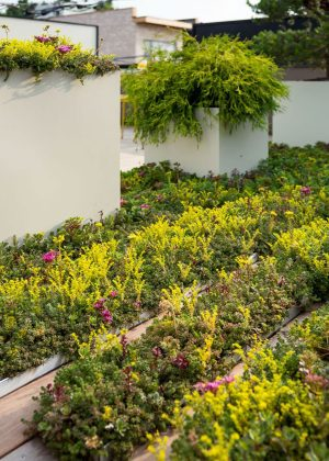 Rooftop garden of cream colored planters and brightly colored trays of sedum groundcover.